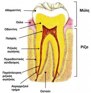 Το δόντι